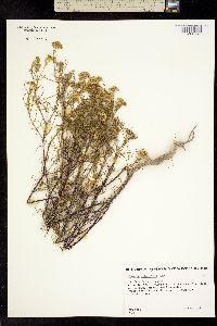 Image of Flaveria chlorifolia