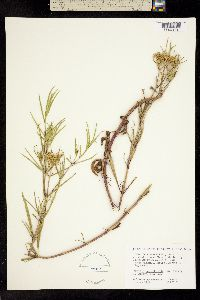 Image of Flaveria brownii
