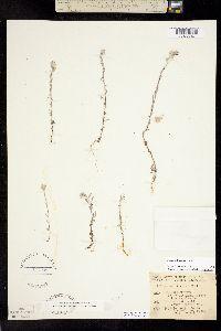 Logfia californica image