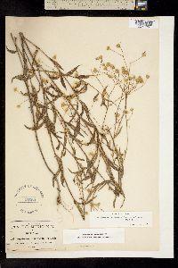 Image of Fleischmannia trinervia