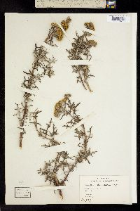 Image of Eriophyllum staechadifolium