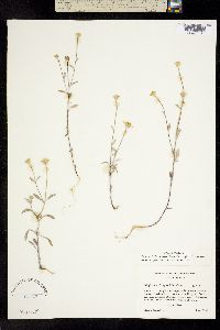 Image of Eriophyllum congdonii