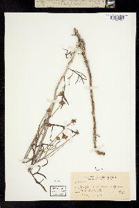 Image of Eriophyllum jepsonii