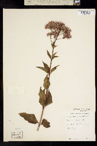 Image of Eutrochium dubium