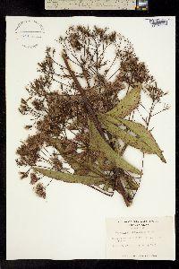 Image of Eutrochium fistulosum