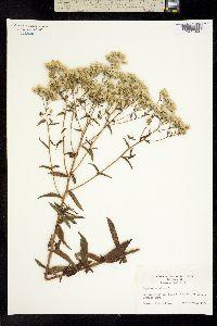Image of Eupatorium album