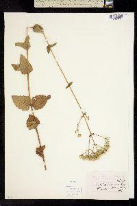 Image of Ageratina aromatica