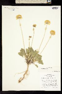 Image of Gaillardia parryi