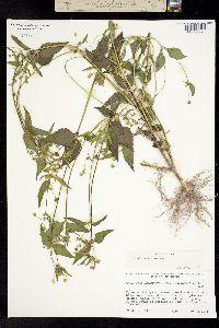 Galinsoga parviflora image