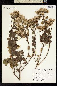Image of Garberia heterophylla