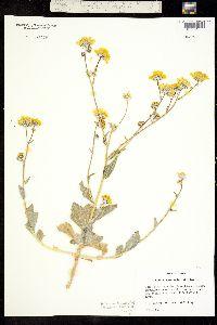 Image of Geraea canescens
