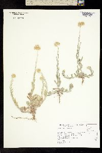 Pseudognaphalium luteoalbum image