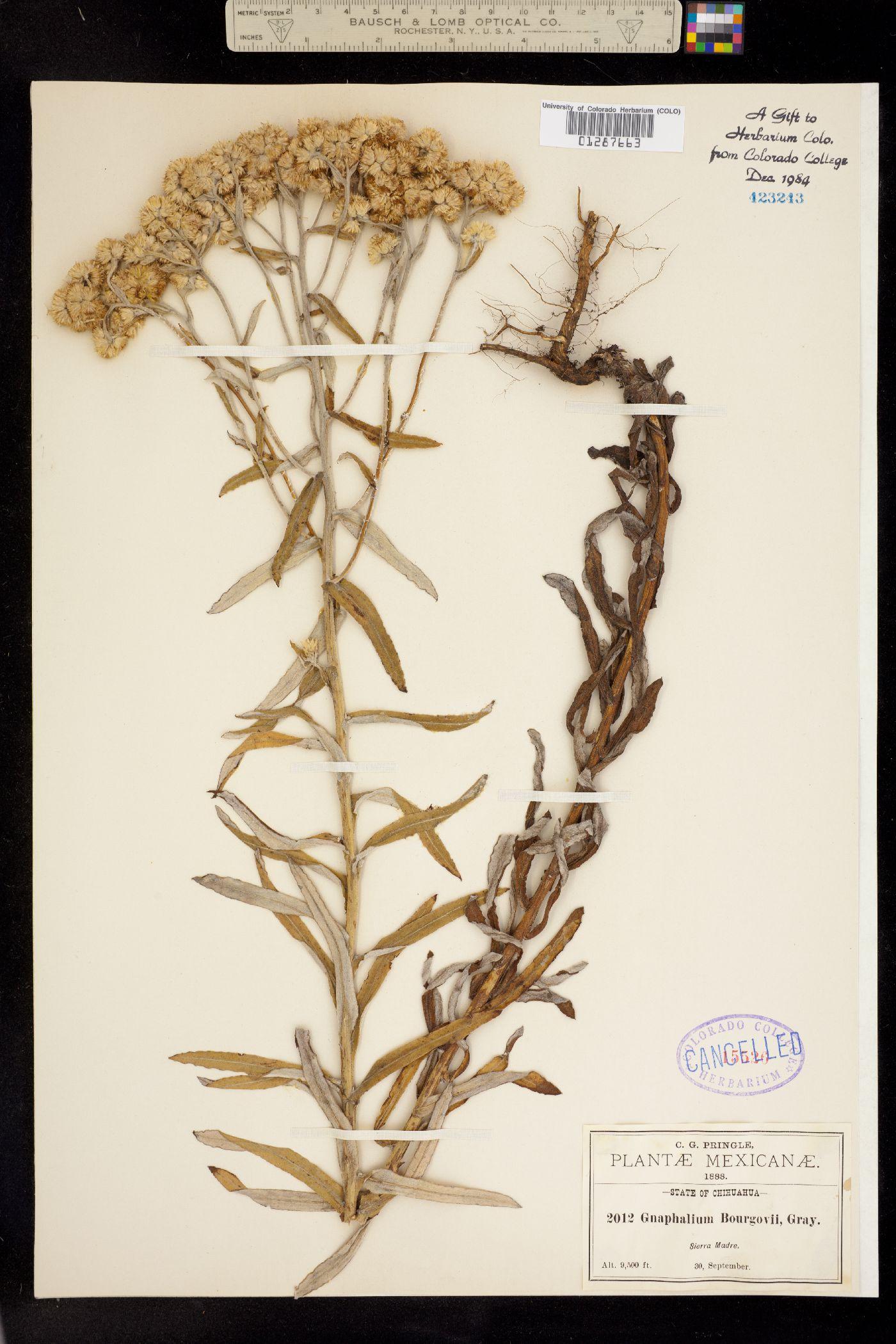 Gnaphalium bourgovii image