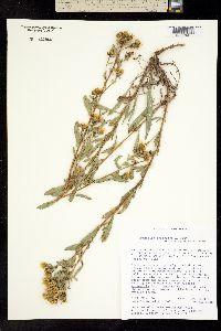 Grindelia arizonica image