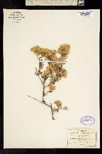 Nahuatlea hypoleuca image