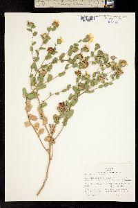Image of Grindelia microcephala