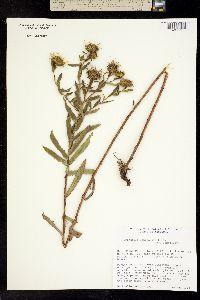 Image of Grindelia lanceolata