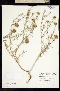 Image of Grindelia oxylepis