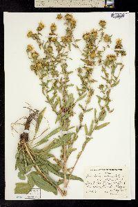 Image of Grindelia integrifolia