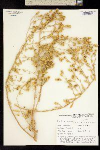 Image of Grindelia fraxinipratensis