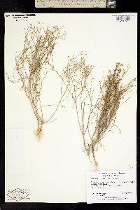 Image of Gutierrezia glutinosa