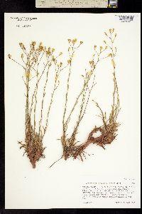 Image of Gutierrezia petradoria