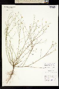 Gutierrezia texana image