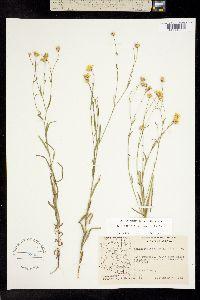 Gutierrezia wrightii image