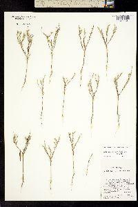 Image of Gutierrezia triflora