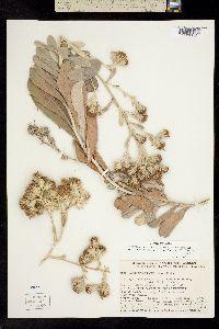Image of Hazardia cana