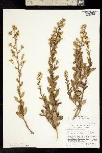 Image of Hazardia orcuttii