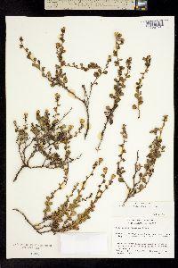 Hazardia rosarica image
