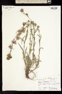 Heleastrum hemisphericum image