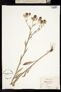Image of Helenium flexuosum