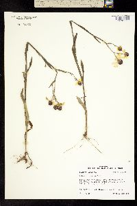 Image of Helenium campestre