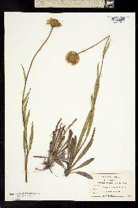 Image of Helenium pinnatifidum