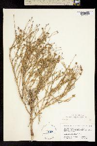 Image of Helenium linifolium