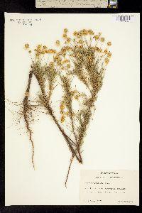 Image of Helenium tenuifolium