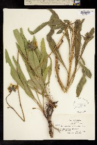 Helianthella californica image