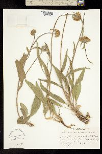 Image of Helianthella castanea