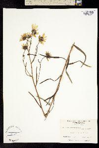 Image of Helianthus angustifolius
