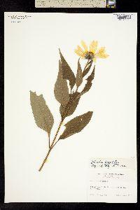 Image of Helianthus decapetalus
