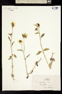 Image of Helianthus exilis