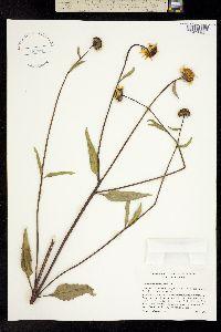 Image of Helianthus gracilentus
