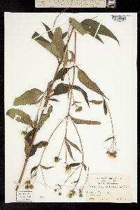 Image of Helianthus microcephalus