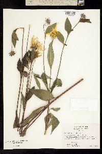 Image of Helianthus strumosus