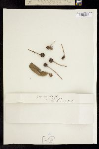 Image of Helianthus doronicoides