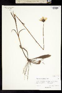 Image of Helianthus heterophyllus