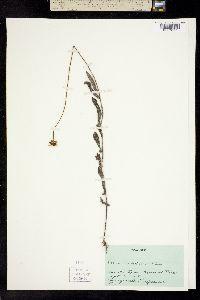 Image of Helianthus floridanus