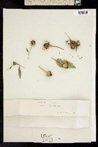 Image of Helianthus laevigatus